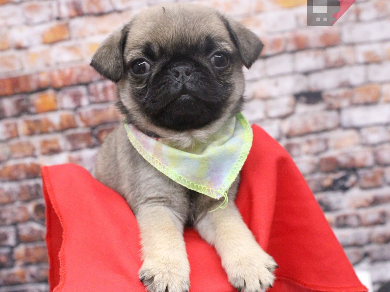 Pug-Female-Fawn-3046586-Petland Wichita, KS