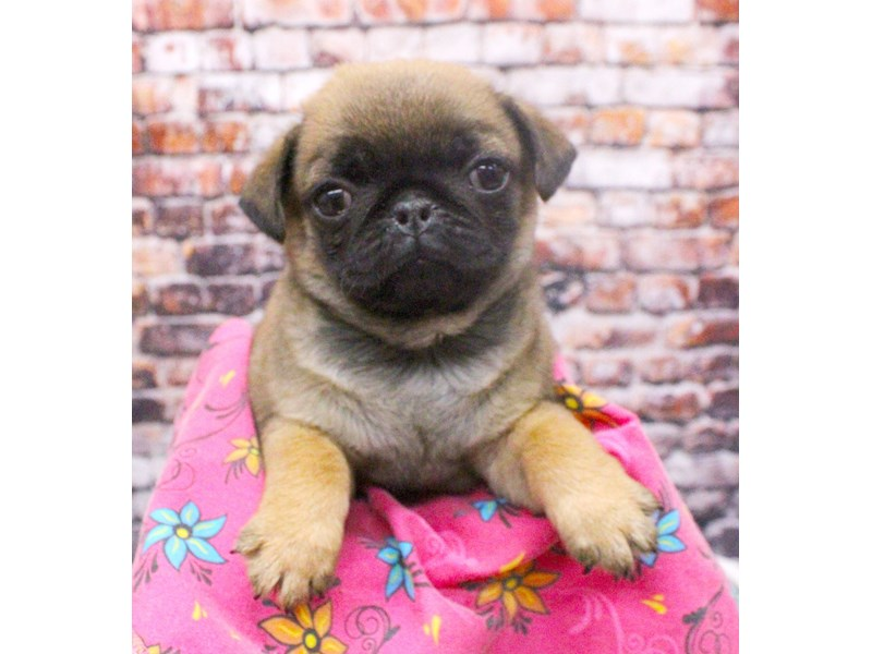 Pug-Female-Apricot-3046584-Petland Wichita, KS