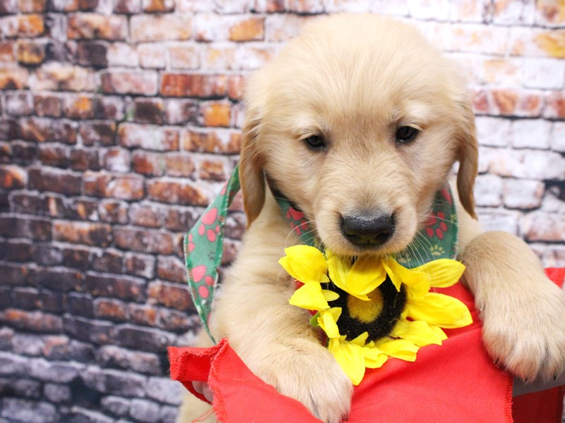 Golden Retriever-Male-Gold-3047070-Petland Wichita, KS
