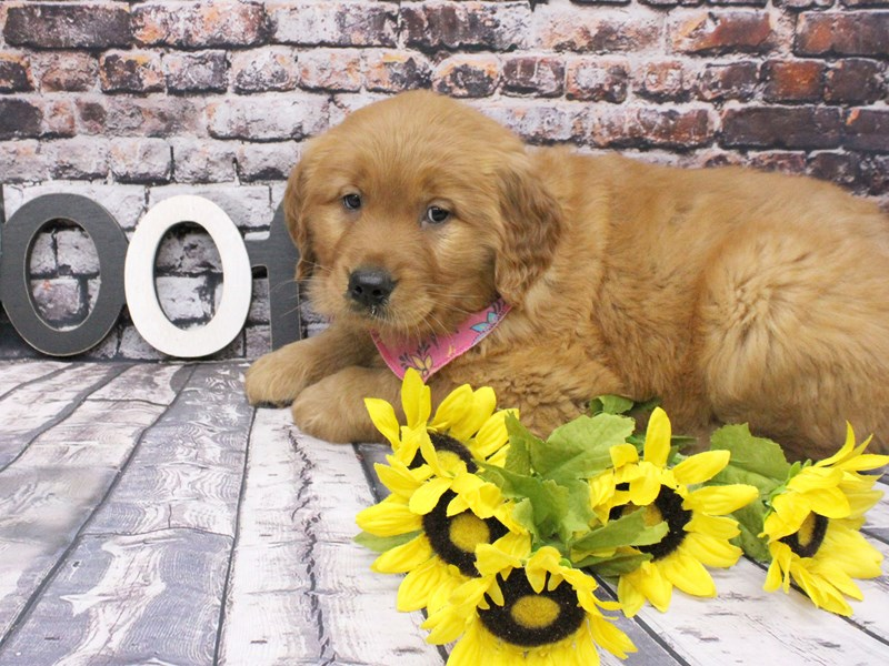 Golden Retriever-Female-Red-3047069-Petland Wichita, KS