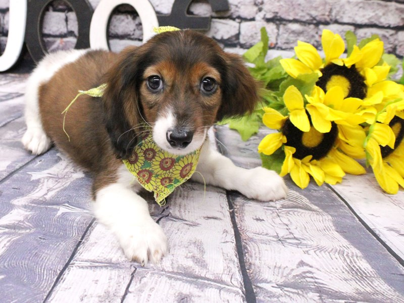 Miniature Dachshund-Male-Long Hair - Red Pibald-3046737-Petland Wichita, KS