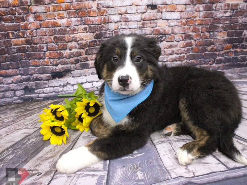 Bernaussie-Male-Black Tri-3037356-Petland Wichita, KS