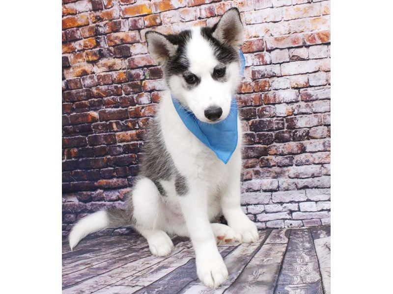 Siberian Husky-Male-Grey & White with brown eyes-3037334-Petland Wichita, KS