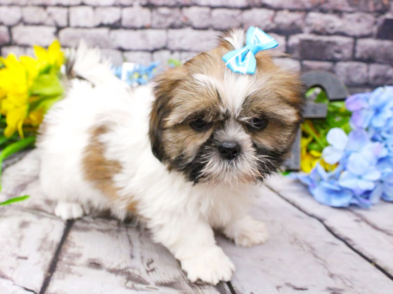 Shih Tzu-Male-Red Sable Parti-3060037-Petland Wichita, KS