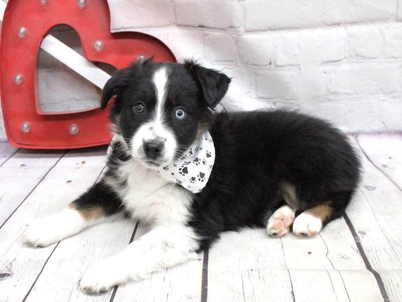 Miniature Australian Shepherd-Male-One Blue eye Black TriColor-2991083-Petland Wichita, KS