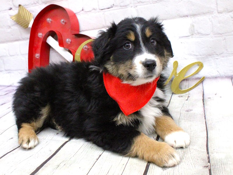 Miniature Australian Shepherd-Male-Black TriColor-2991077-Petland Wichita, KS