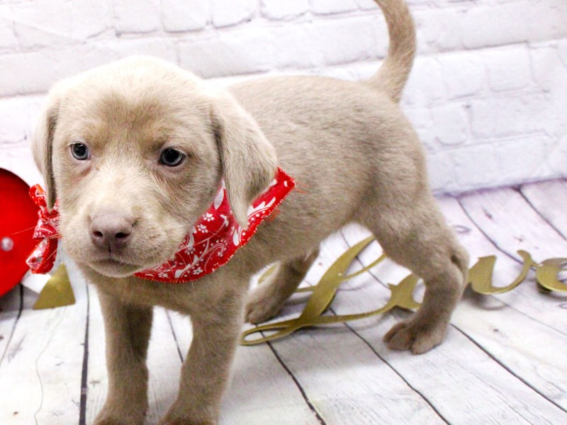 English Labrador Retriever-Male-Silver-2999342-Petland Wichita, KS