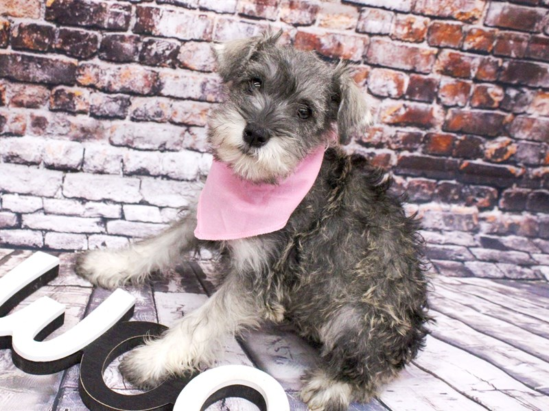 Miniature Schnauzer-Female-Salt & Pepper-3017315-Petland Wichita, KS