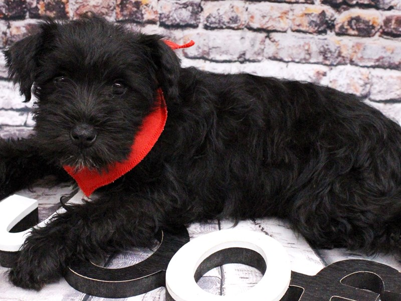 Miniature Schnauzer-Male-Black & White-3017292-Petland Wichita, KS