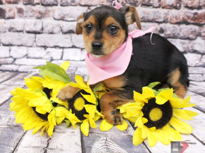Chorkie-Female-Black & Tan-3037320-Petland Wichita, KS
