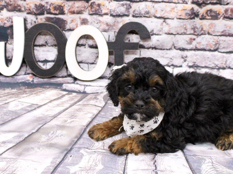 Toy Cockapoo-Male-Phantom-3035610-Petland Wichita, KS
