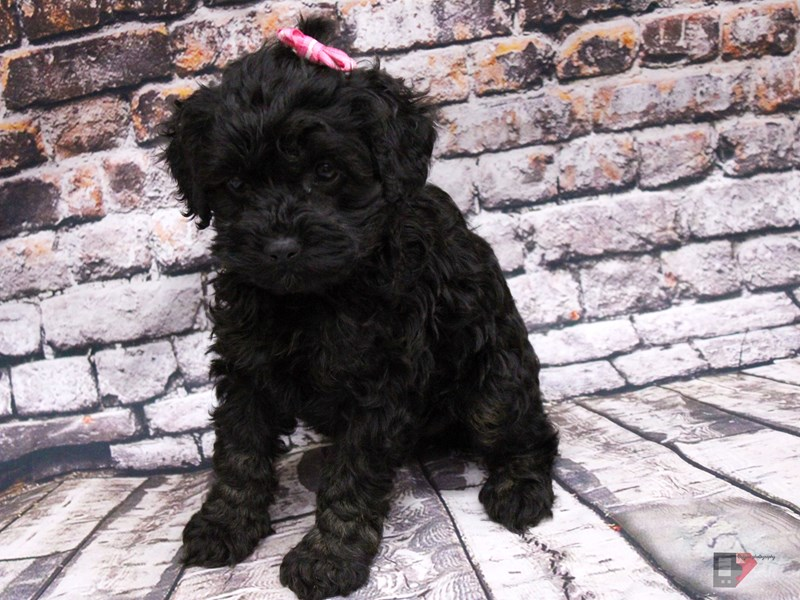 Toy Cockapoo-Female-Phantom-3035618-Petland Wichita, KS