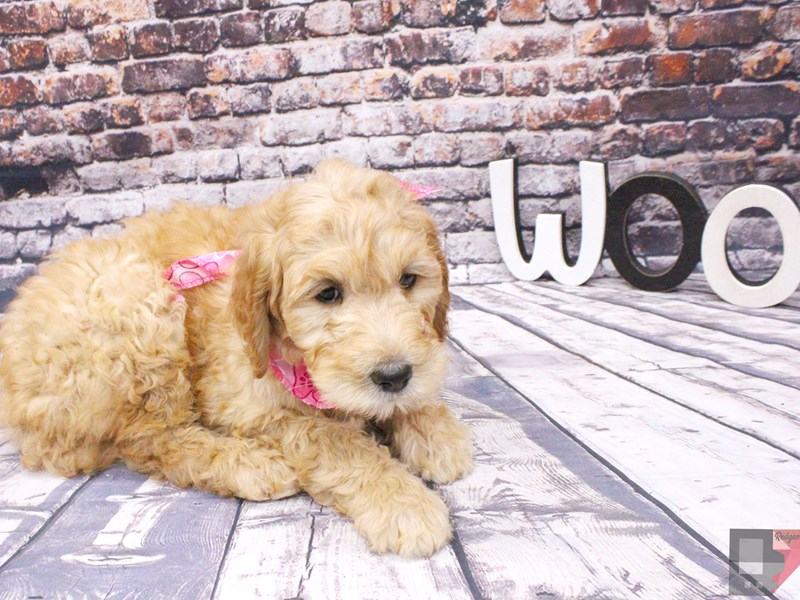 F1B Goldendoodle-Female-Gold-3048010-Petland Wichita, KS