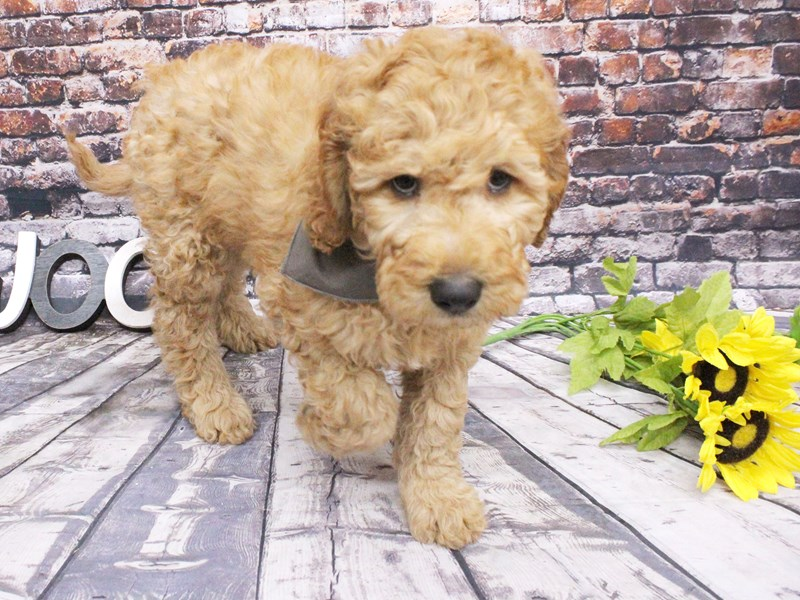 F1B Goldendoodle-Male-Red-3047991-Petland Wichita, KS
