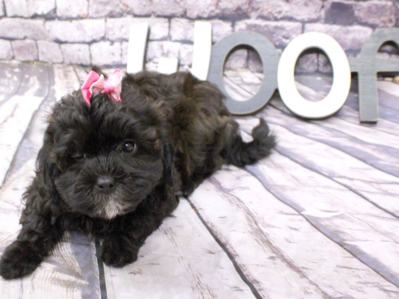Toy ShihPoo-Female-Black-3058115-Petland Wichita, KS