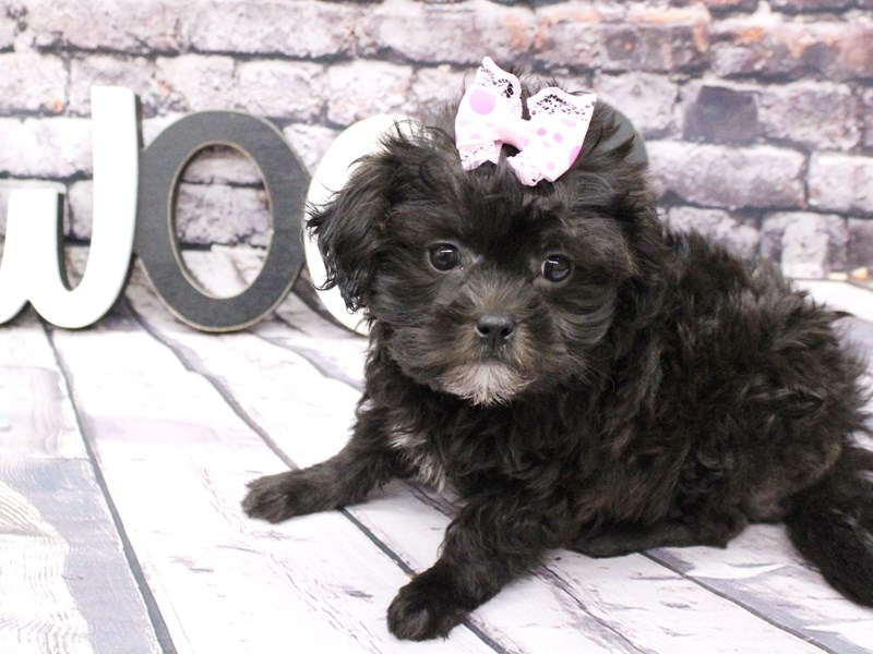 Toy ShihPoo-Female-Black-3058113-Petland Wichita, KS