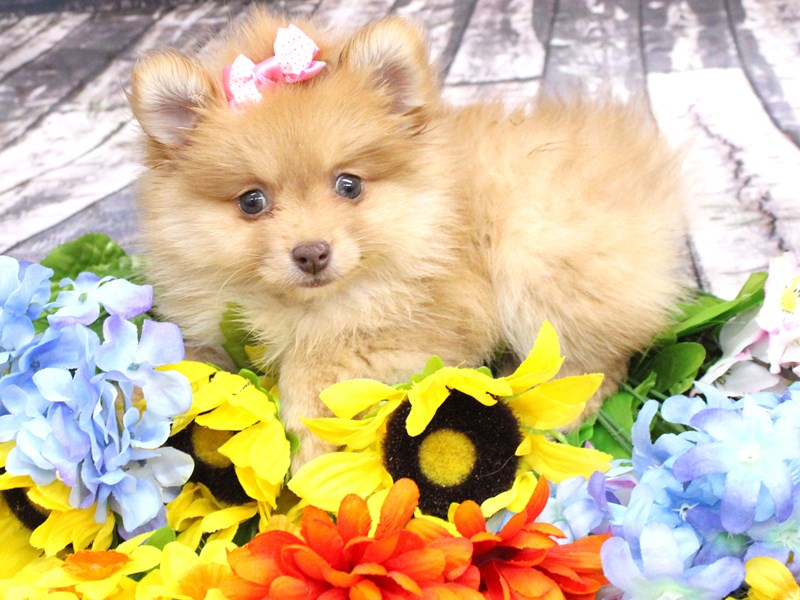 Pomeranian-Female-Red-3058284-Petland Wichita, KS