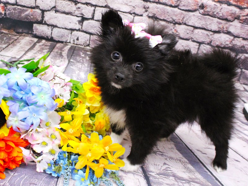 Pomeranian-Female-Black & White-3058283-Petland Wichita, KS