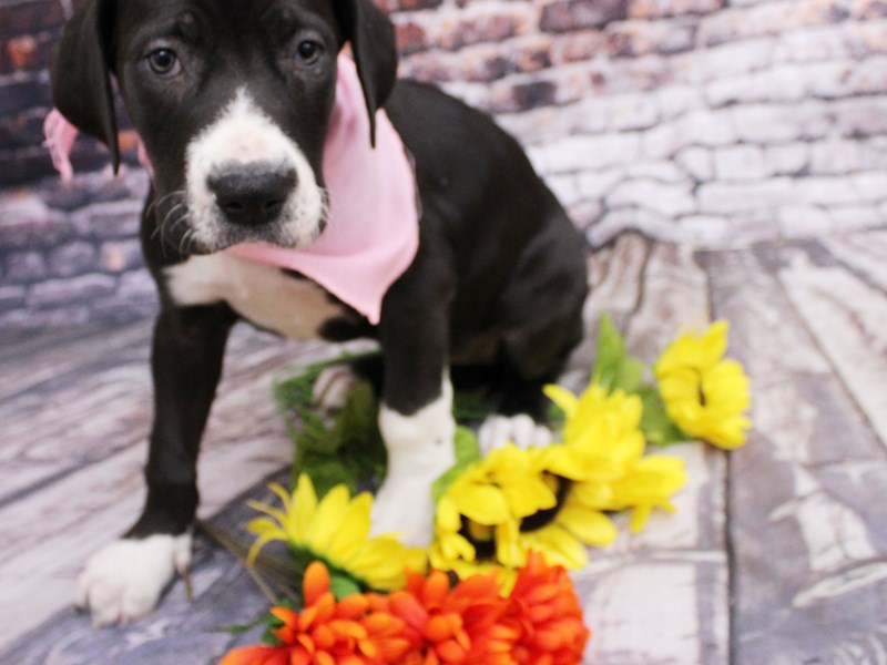 Great Dane-Female-Black & White-3068881-Petland Wichita, KS