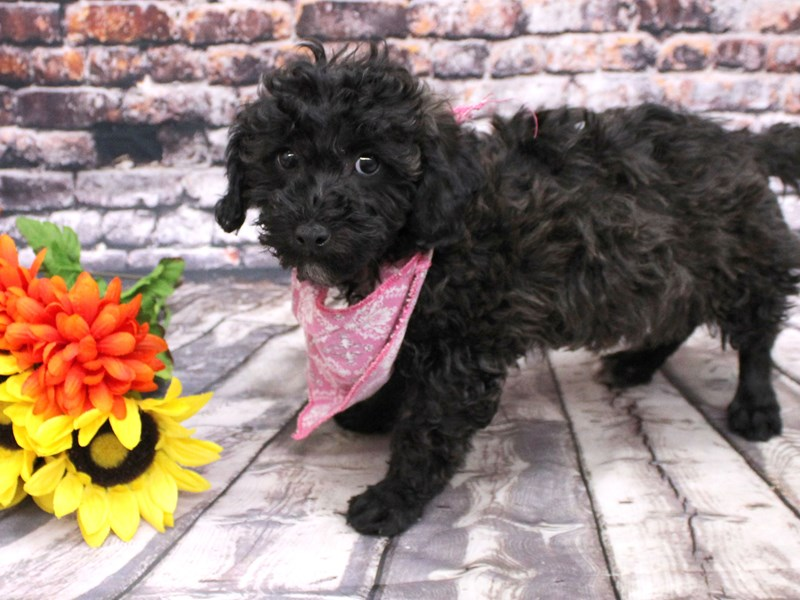 Bichon Poo-Female-Black - Dark Chocolate-3069098-Petland Wichita, KS