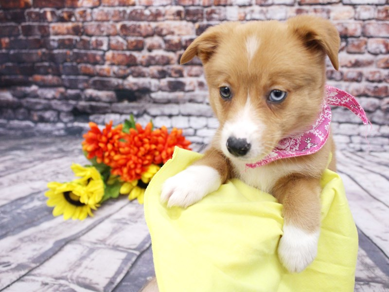 Mini Auggie-Female-Red & White (one blue eye)-3069076-Petland Wichita, KS