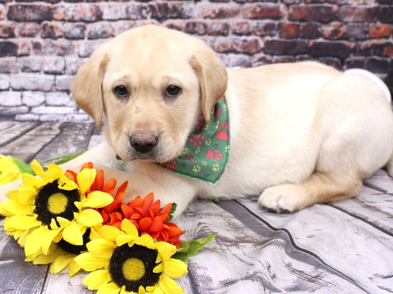 English Labrador Retriever-Male-Yellow-3068907-Petland Wichita, KS