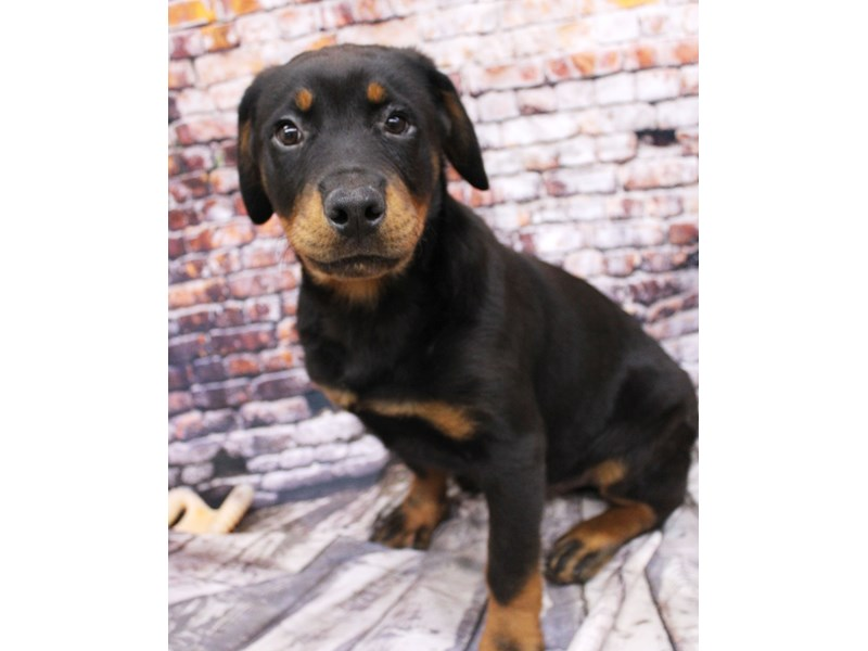 Rottweiler-Male-Black & Rust-3007822-Petland Wichita, KS