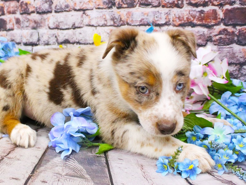 Texas Heeler-Male-Red Merle One Blue One Green Eye-3079914-Petland Wichita, KS