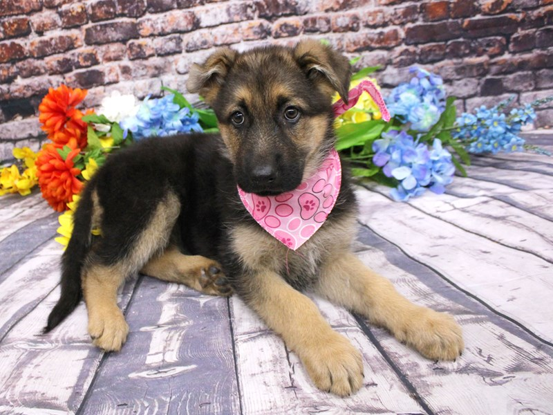 German Shepherd Dog-DOG-Female-Black / Tan-3079766-Petland Wichita, KS