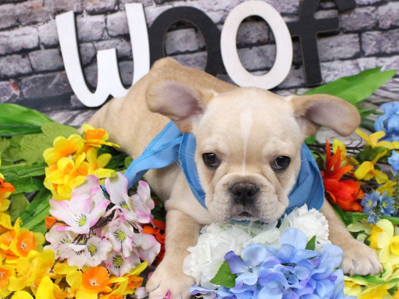 French Bulldog-Male-Cream-3079816-Petland Wichita, KS