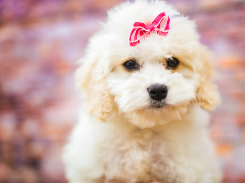 Toy Cockapoo-Female-White & Buff Parti-3090347-Petland Wichita, KS