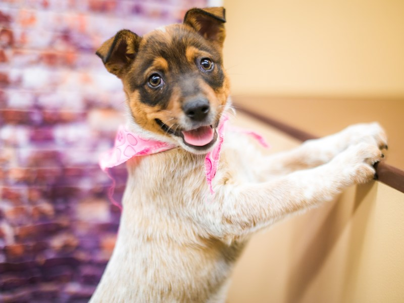 Red Heeler-DOG-Female-Red tick-3090336-Petland Wichita, KS