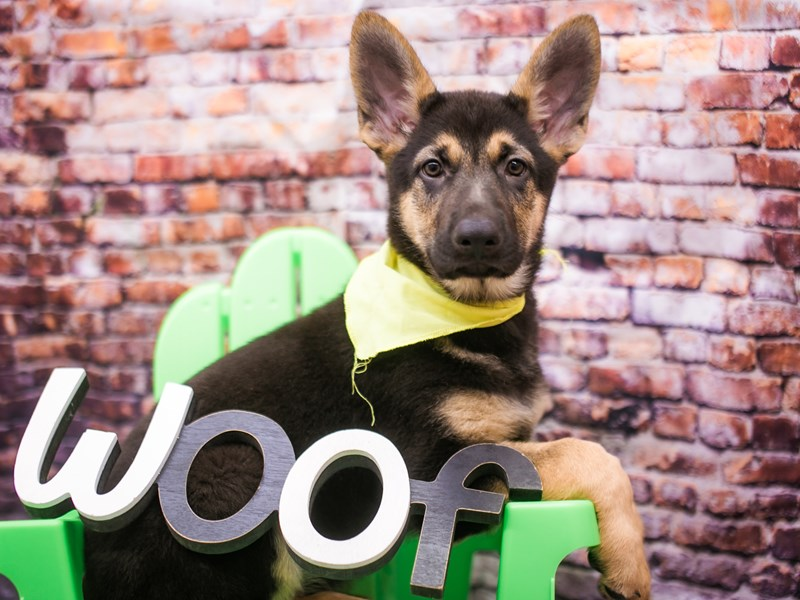German Shepherd Dog-Male-Black & Tan-3090335-Petland Wichita, KS