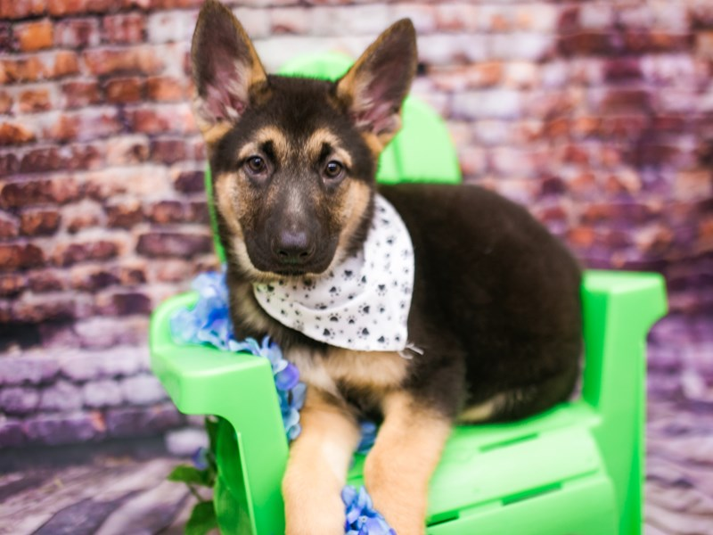 German Shepherd Dog-Male-Black & Tan-3090334-Petland Wichita, KS