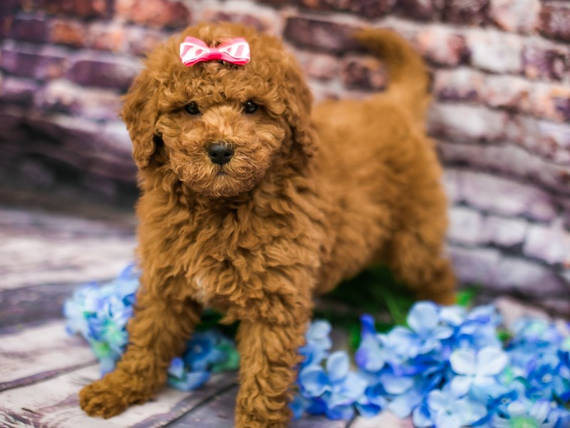 F1B Mini Goldendoodle-Female-Red-3090501-Petland Wichita, KS
