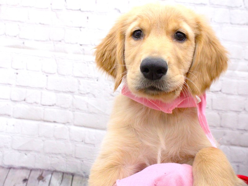 Golden Retriever-Female-Golden-2999899-Petland Wichita, KS