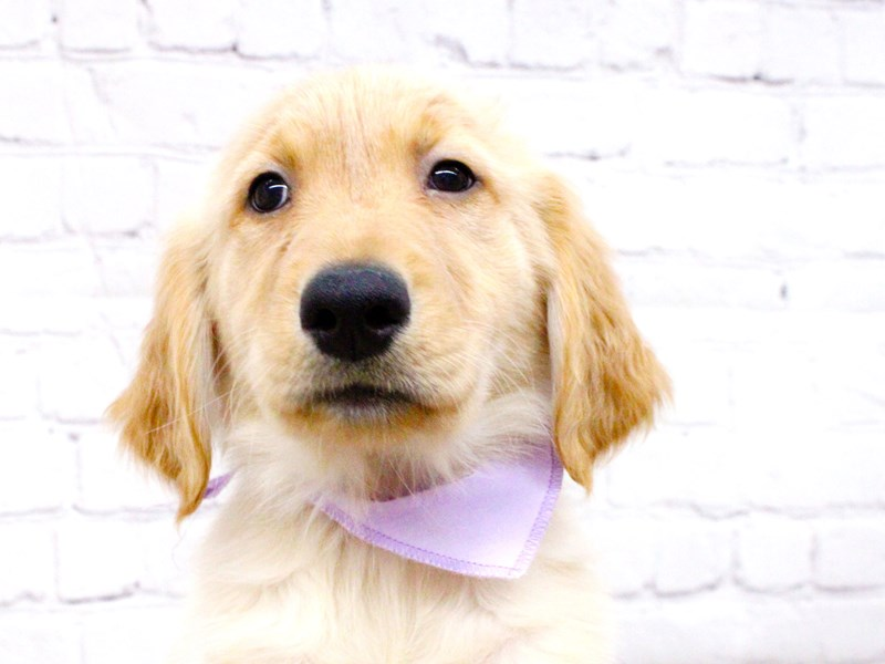 Golden Retriever-Female-Light Golden-2999886-Petland Wichita, KS