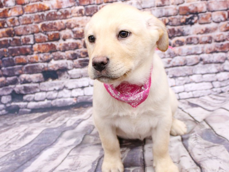 English Labrador Retriever-Female-Yellow-3068924-Petland Wichita, KS
