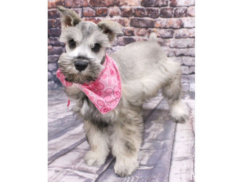 Miniature Schnauzer-Female-Black Parti-3079921-Petland Wichita, KS