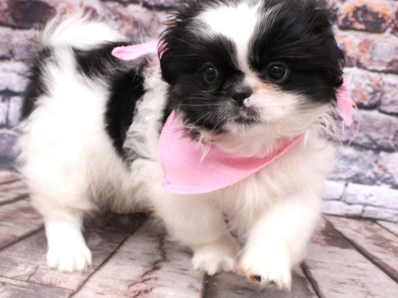 Pekingese-Female-Black & White-3112980-Petland Wichita, KS