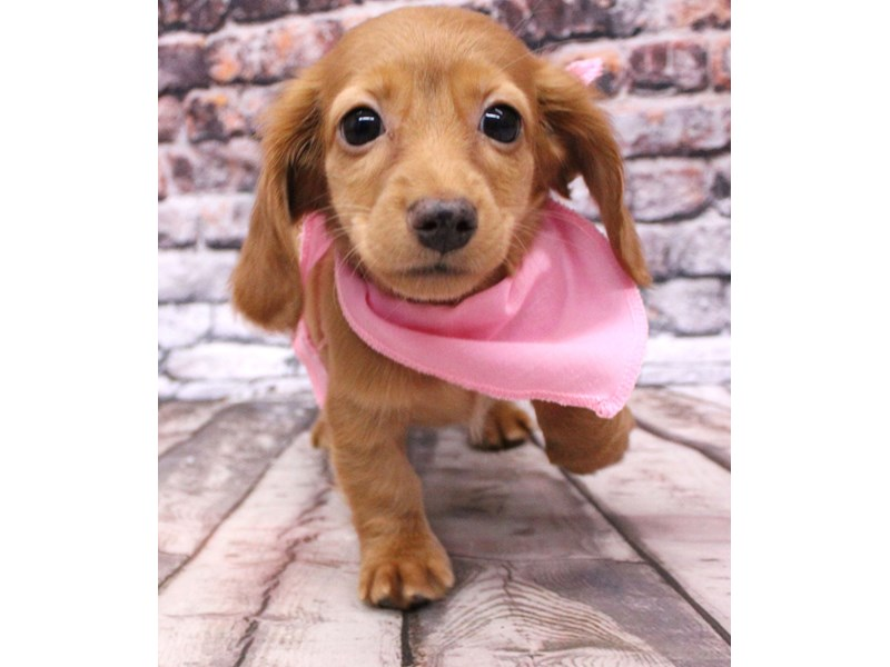 Miniature Dachshund-Female-Long Hair - Red-3124053-Petland Wichita, KS