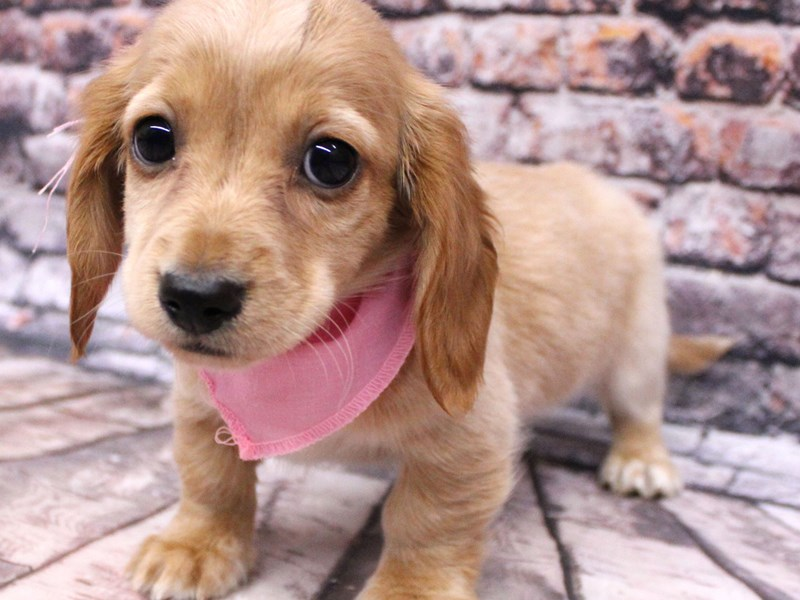 Miniature Dachshund-Female-Long Hair - Isabella Cream-3124039-Petland Wichita, KS