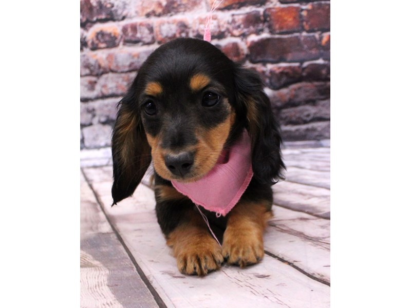 Miniature Dachshund-Female-Long Hair - Black & Tan-3123994-Petland Wichita, KS